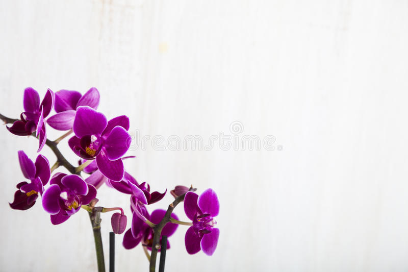 OrkidéPhalaenopsis arkivbilder