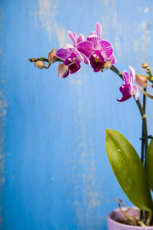 OrkidéPhalaenopsis royaltyfri fotografi