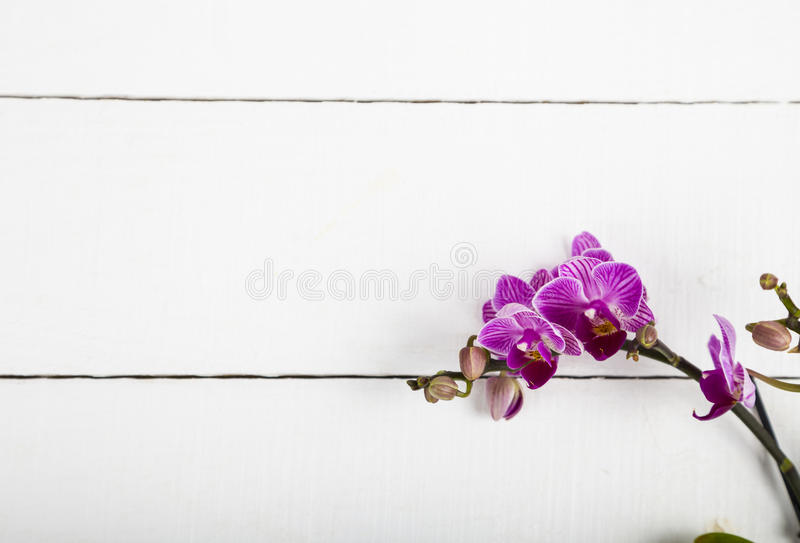 OrkidéPhalaenopsis royaltyfria bilder