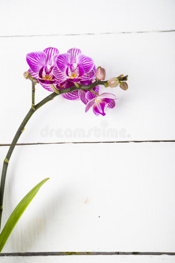 OrkidéPhalaenopsis arkivfoton