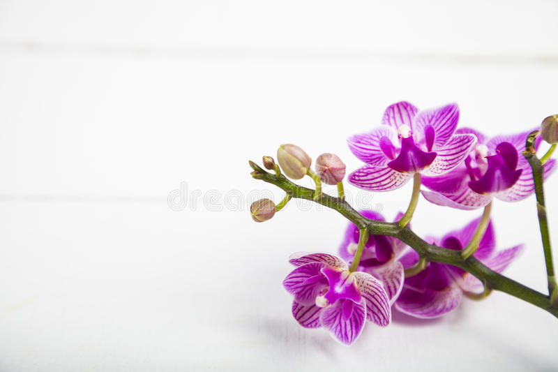OrkidéPhalaenopsis arkivbild