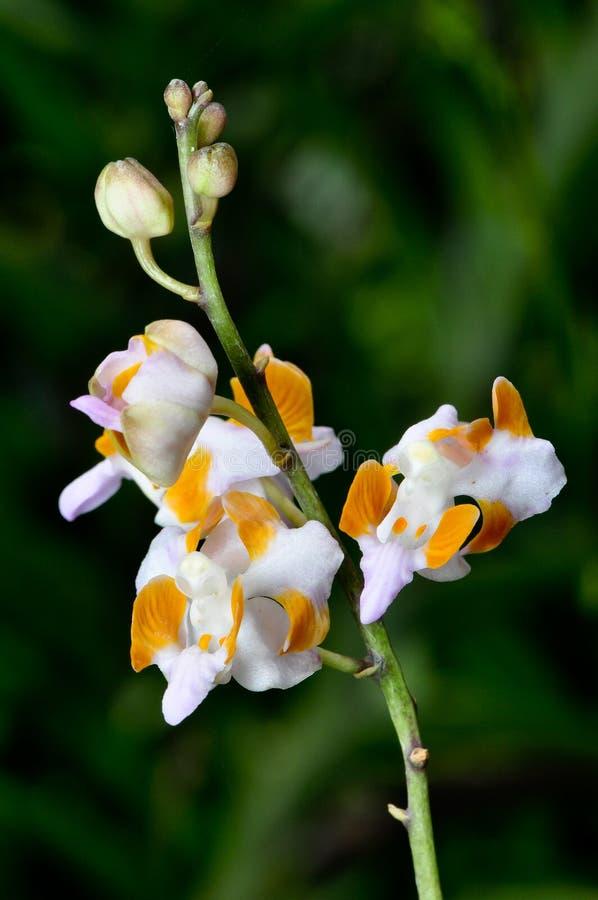 Orkidér arkivfoton