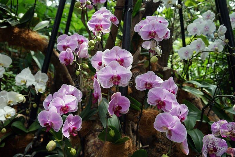 Orkidér arbeta i trädgården Singapore den nationella orkidéträdgården Singapore fotografering för bildbyråer