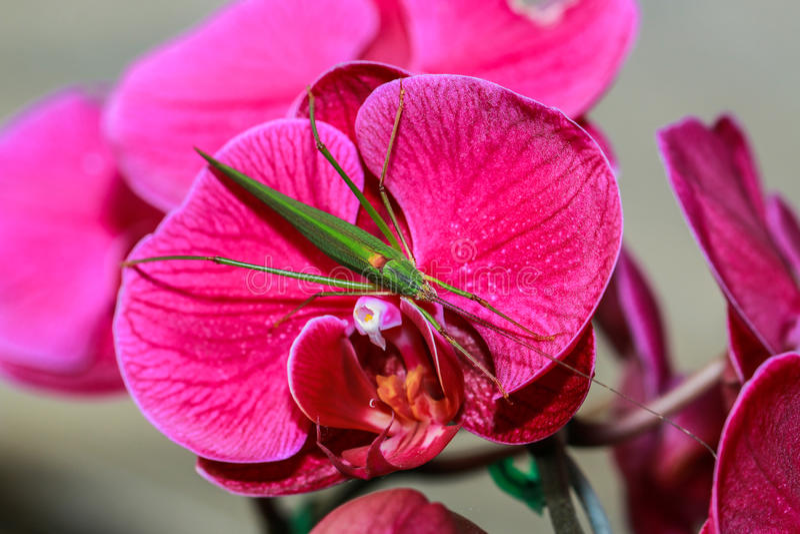Orkidér blomma, Vanda arkivbild