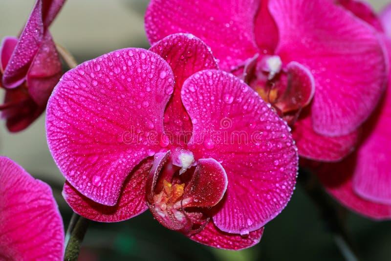 Orkidér blomma, Vanda fotografering för bildbyråer