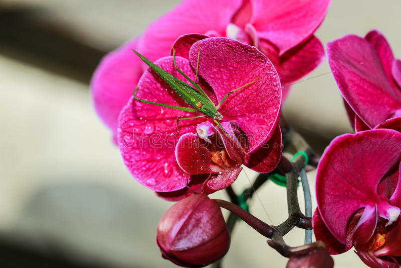 Orkidér blomma, Vanda arkivfoto