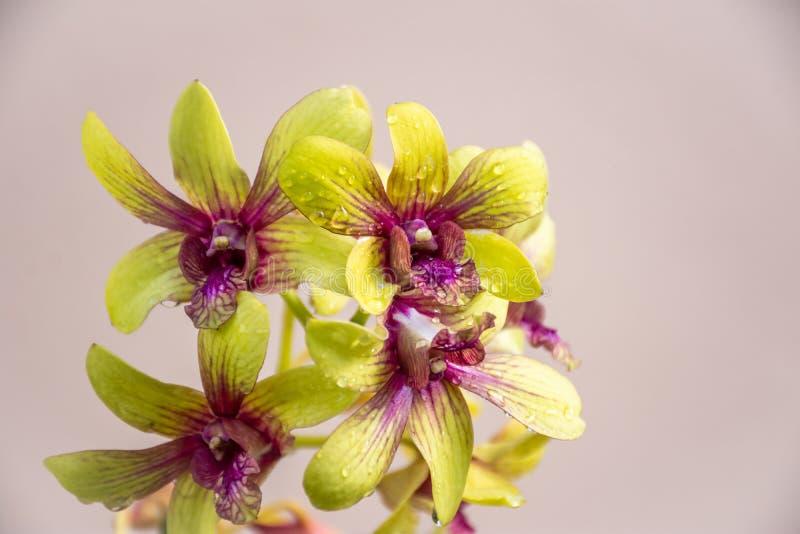 Orkidér blommar med vattendroppar fotografering för bildbyråer