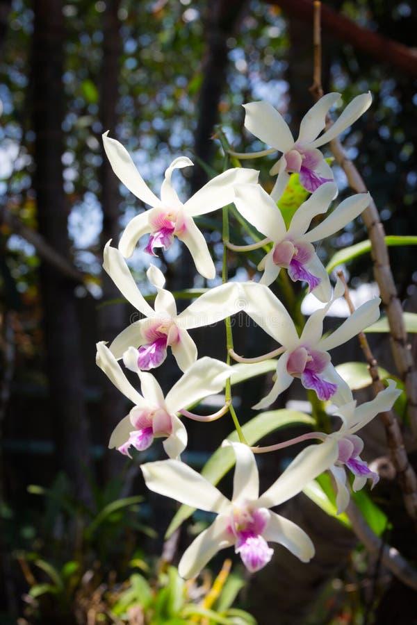 Orkidér för vita blommor royaltyfria foton
