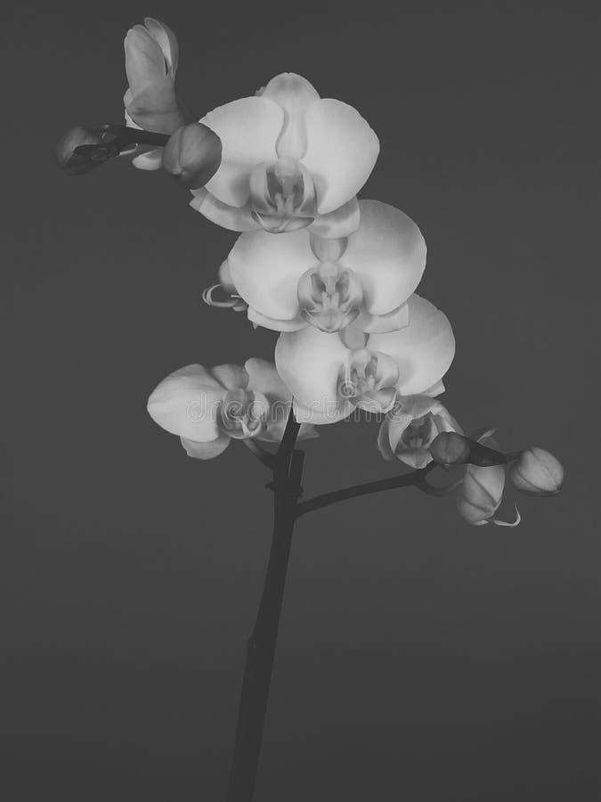 Orkidér i mörkret arkivbilder