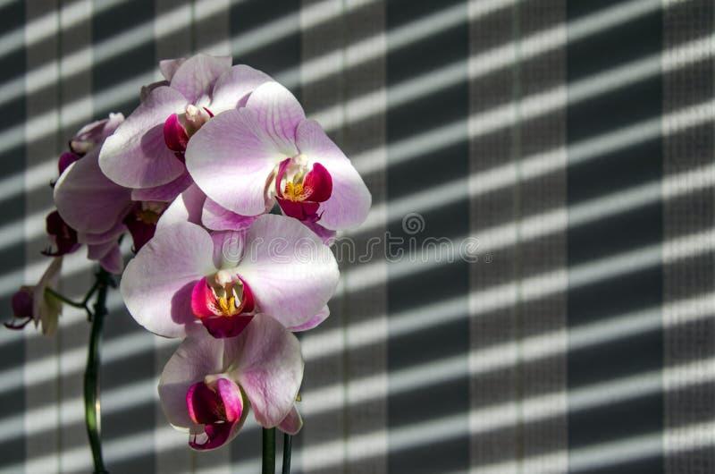 Orkidér med skuggor från rullgardinerna och den randiga bakgrunden royaltyfri fotografi