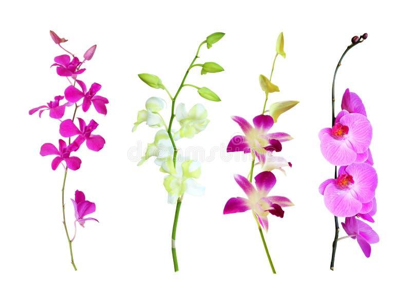 Orkidér som isoleras på vit royaltyfria bilder