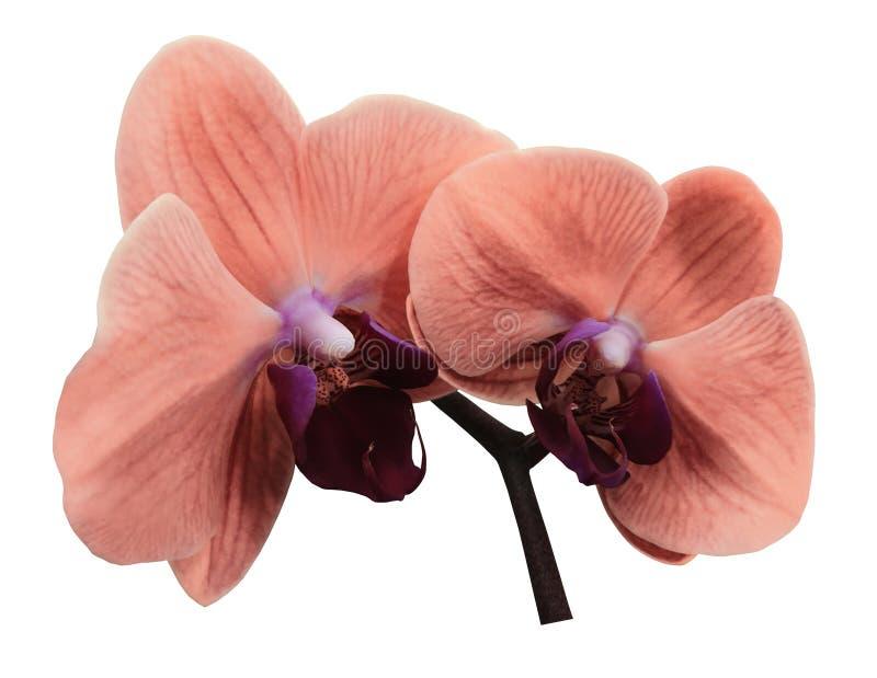 Orkidérosa färgblomma Isolerat på vitbakgrund med den snabba banan closeup Filialen av orkidér arkivfoton