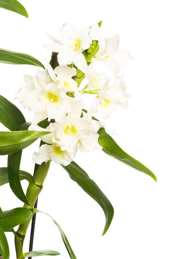Orkidéslut upp sikten solated på vit bakgrund arkivfoto