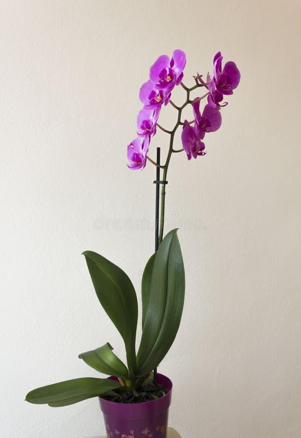Orkidéväxt på en vas royaltyfri fotografi