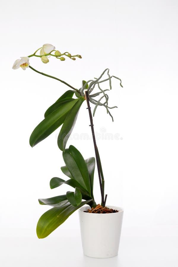Orkidéväxten och erial rotar på en vit bakgrund royaltyfria bilder
