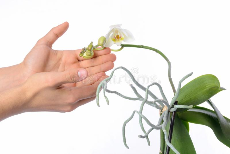Orkidéväxten och erial rotar på en vit bakgrund fotografering för bildbyråer