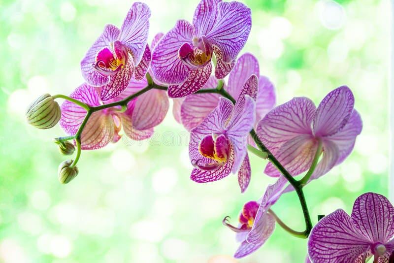 Orkid?blomma i tropisk tr?dg?rd Purpur Phalaenopsis som växer på grön bakgrund royaltyfri fotografi