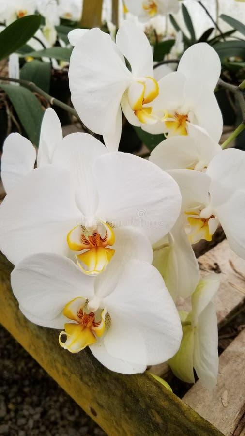 Orkid? royaltyfria bilder