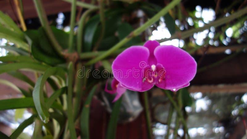 Orkid salvaje del semenyih imagenes de archivo