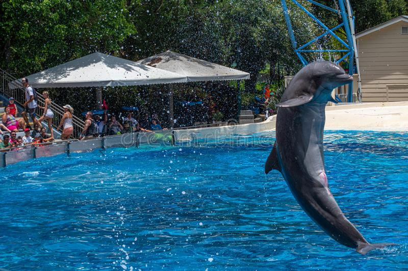 Dolphin jumping in Dolphin Days show at Seaworld 49. Orlando, Florida. July 29, 2019. Dolphin jumping in Dolphin Days show at Seaworld 49 royalty free stock image