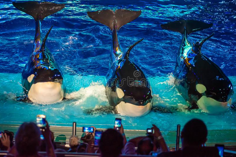 Killer whales posing while people take photos with cell phones in Electric Ocean Show at Seaworld 5 royalty free stock photo