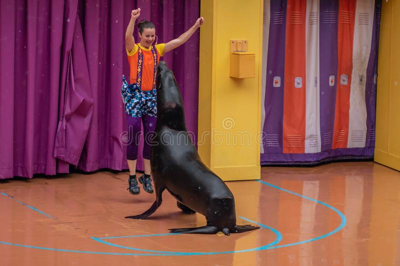 Lovable sea lion plays with woman coach in Sea Lion High show at Seaworld 2. Orlando, Florida. July 26, 2019. Lovable sea lion plays with woman coach in Sea Lion royalty free stock photo