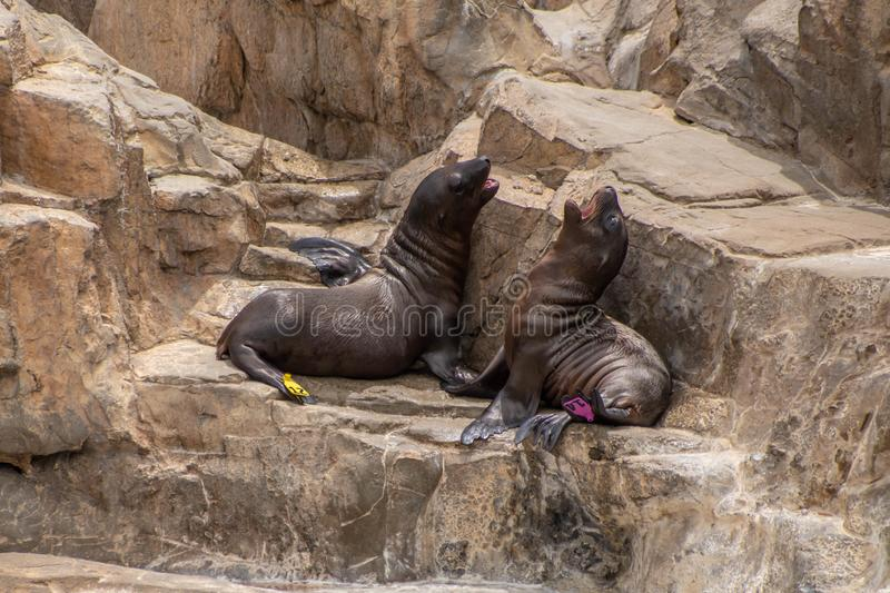 Young California sea lion pups playing on the rocks at Seaworld 3 royalty free stock photo