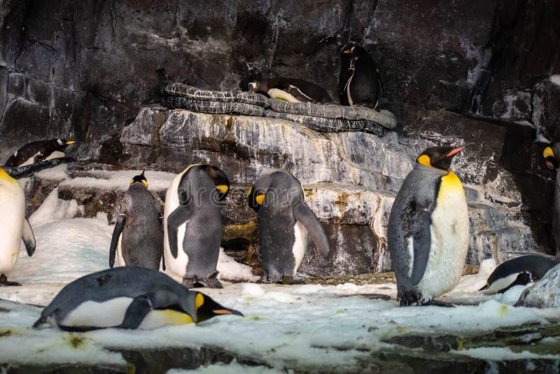 Emperor penguins in Antarctica area at Seaworld 4 stock photo