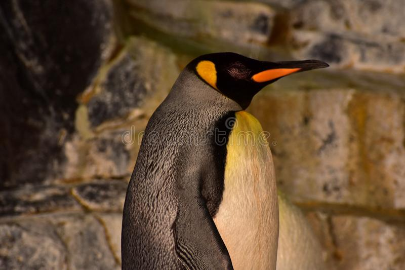 Beatiful Emperor Penguin at Seaworld. Orlando, Florida. September 21st. Beautiful emperor penguin on rocky background at Seaworld royalty free stock photography