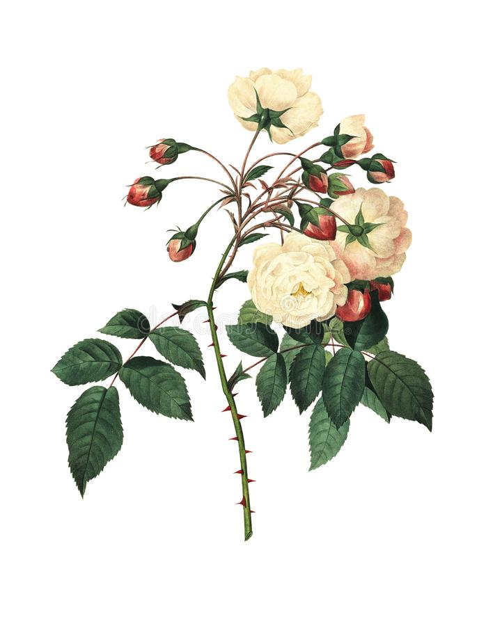 ` Orleans de Rose Adelaide d   Ejemplos antiguos de la flor ilustración del vector