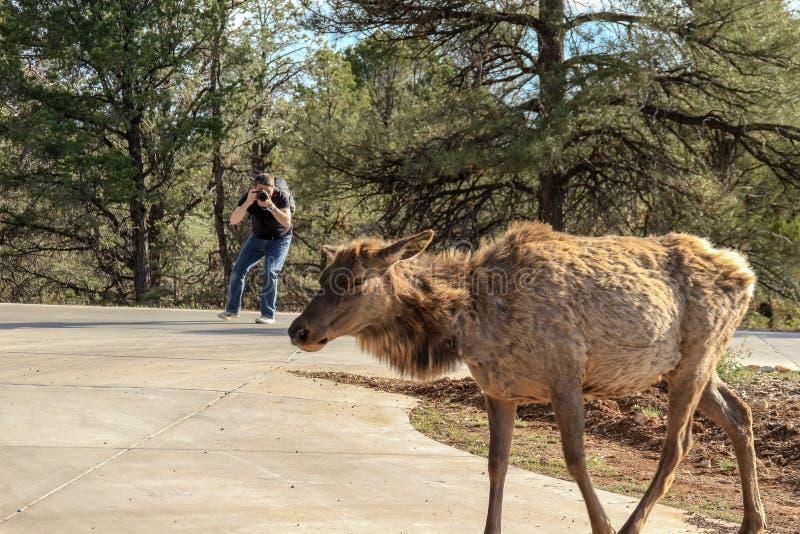 Orlo del sud, Grand Canyon, Arizona - 19 aprile 2015: Il fotografo fa una foto di Rocky Mountain Elk immagini stock