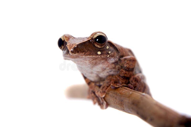 Orlov`s flying frog, Rhacophorus orlovi, on white. Orlov`s flying frog, Rhacophorus orlovi, isolated on white background royalty free stock photography