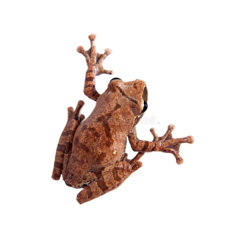 Orlov`s flying frog, Rhacophorus orlovi, on white. Orlov`s flying frog, Rhacophorus orlovi, isolated on white background stock photo