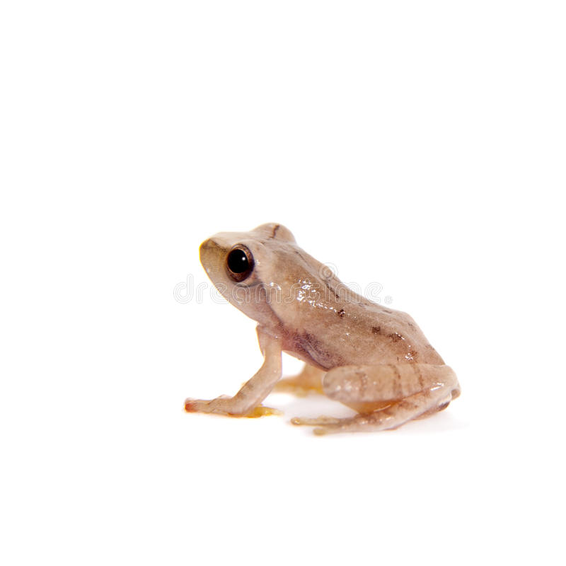 Orlov ` s het vliegen het frogling, Rhacophorus-orlovi, op wit royalty-vrije stock foto's