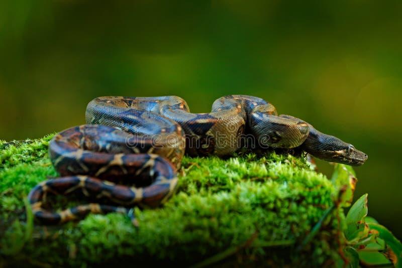 Orm för Boaconstrictor i den lösa naturen, Costa Rica Djurlivplats från Central America Lopp i den farliga vändkretsskogen arkivfoton