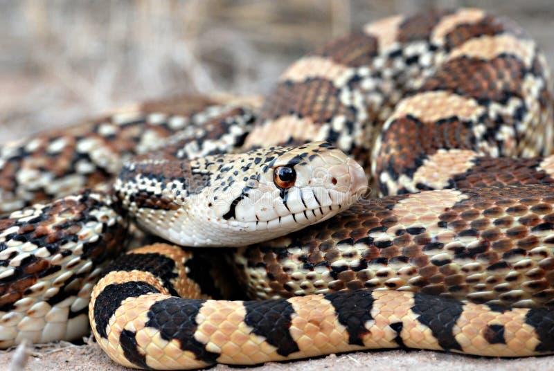 orm för catenifergopherpituophis arkivfoto