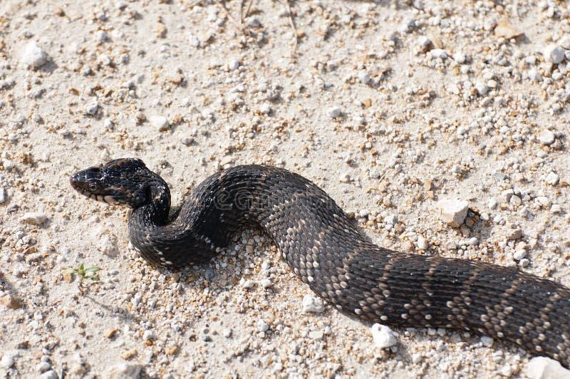 Orm för Cottonmouth för vattenmockasin aka royaltyfria foton
