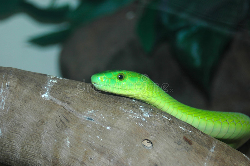 orm för grön mamba royaltyfri foto