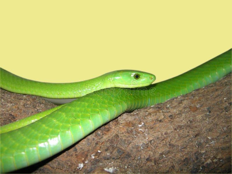 orm för grön mamba arkivfoton