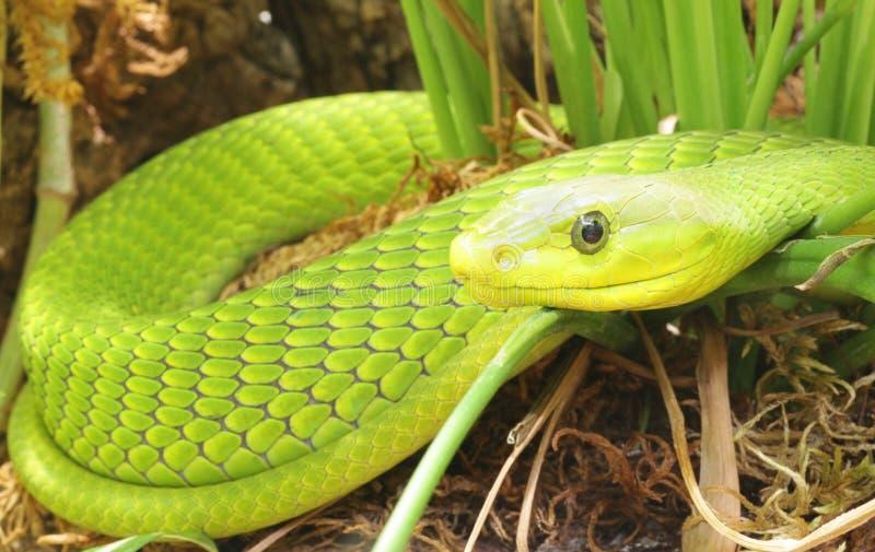 orm för grön mamba för closeup royaltyfri bild