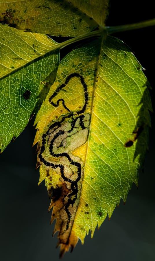 Orm-som bladgruvarbetare royaltyfria bilder