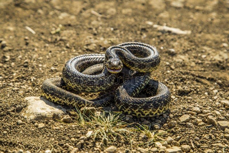 Orm som förbereder sig att kasta arkivfoto