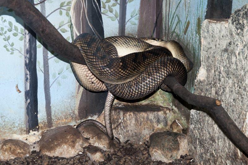 Orm som rullas ihop på en filial royaltyfri fotografi