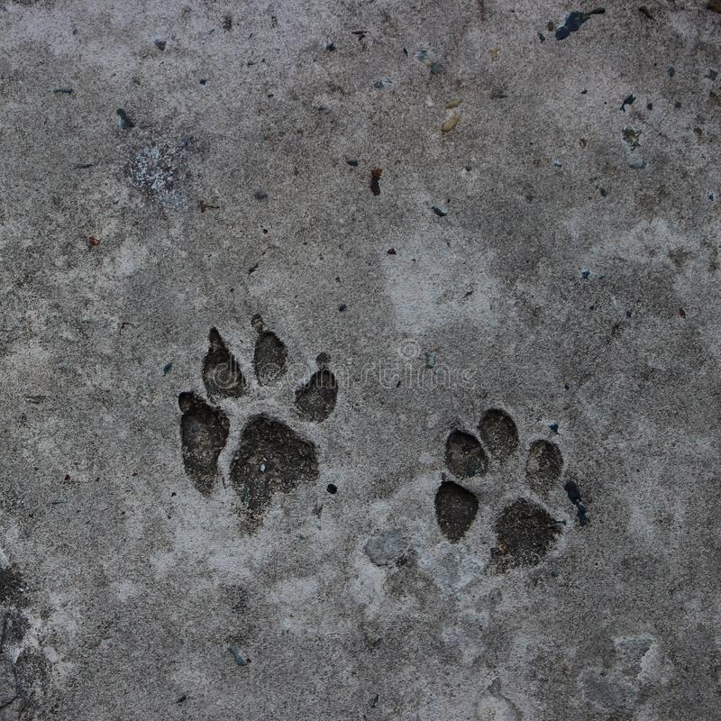 Orma del cane sul pavimento di calcestruzzo immagine stock
