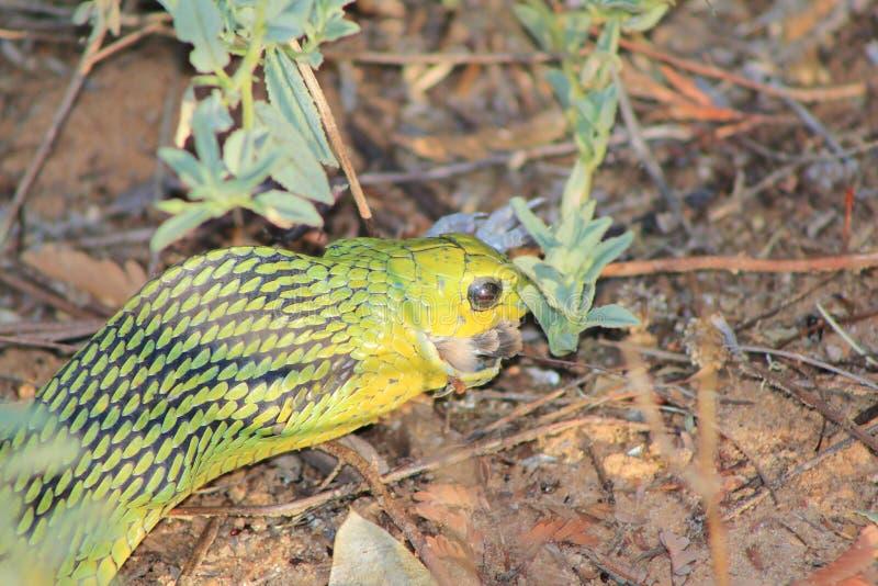 Ormar från Afrika - grön Treeorm 6 royaltyfria bilder