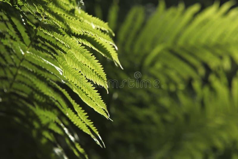 Ormbunkar royaltyfri fotografi
