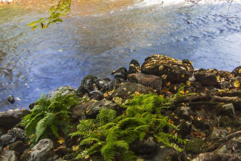 Ormbunkar för Yosemite dalMerced flod fotografering för bildbyråer