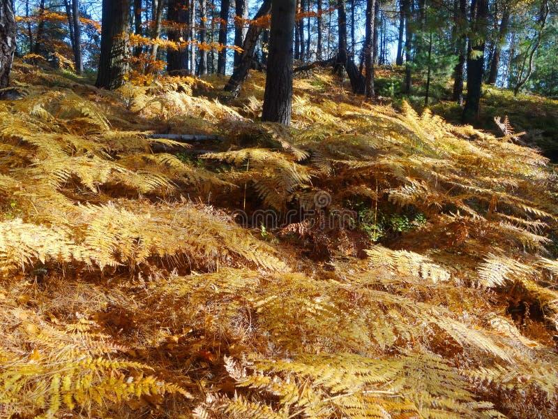 Ormbunkar i höstskogen arkivbild