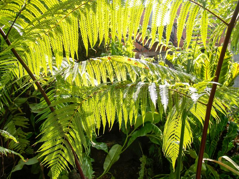 Ormbunkarna i trädgården med solljus överförs till sidorna royaltyfri foto