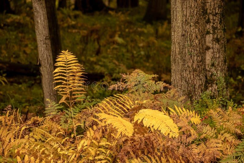 Ormbunke som är fullvuxen i den norr träskogen under höst royaltyfri bild